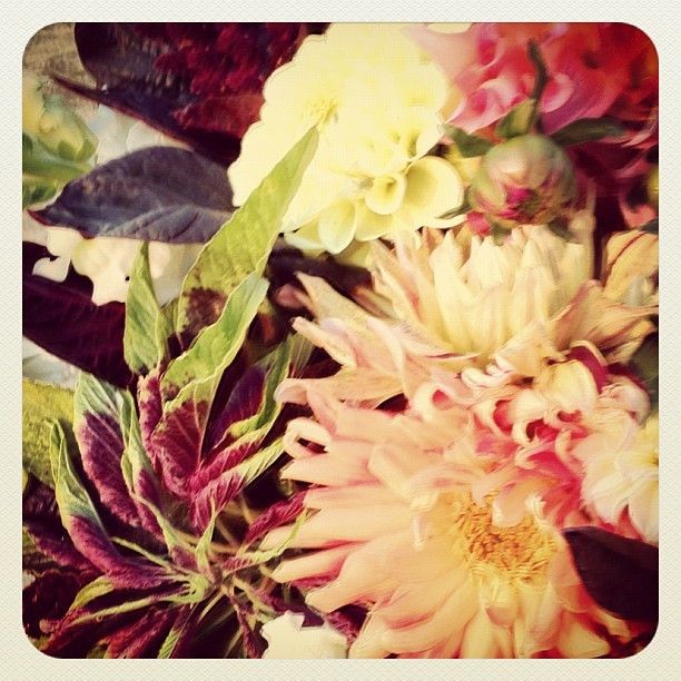 Dahlias + amaranth. #dahliaseason is a gift.  (Taken with Instagram at @MuirRanch)
