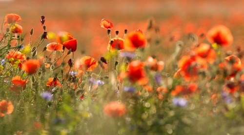 Nature wildflowers photography by  Dzintra