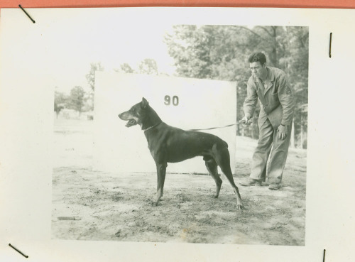 "usnatarchives:  For these dogs of the Marine Corps during World War II, every day was Take Your Dog to Work Day. Read the story of these dogs in ""Let the Records Bark.""  Then, in addition to providing various basic personal details, each applicant was required to provide answers to a number of personality-focused questions, including: ""Are you nervous?"" ""Gun Shy?"" ""Storm Shy?"" ""Do you run away?"" ""Have you lived in house, or kennel?"" ""What is your attitude toward strangers?"" The only thing lacking is a short essay explaining the applicant's reasons for wanting to join up. Once accepted for service, the dogs went to the Dog Detachment Training Center at Camp Lejeune, where they were qualified in obedience and at least one other specialty. The record book lists the following possibilities: Guard Duty, Tracking, Attack, Messenger, First Aid, or Draft. In fact, however, most Marine dogs were used for messenger or scouting work.  Image: Butch poses with his handler. Records of the United States Marine Corps, RG 127"
