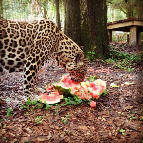 Jaguar and watermelon, together at last! @ Big Cat Rescue, Tampa, FL, USA (via: BCR | Facebook)