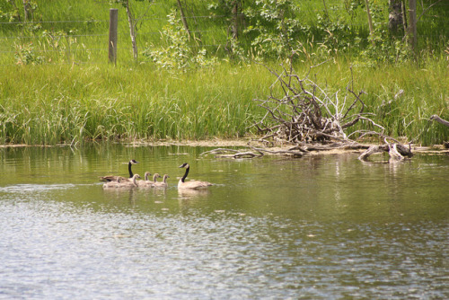 Family of Canadian Geese on Flickr.