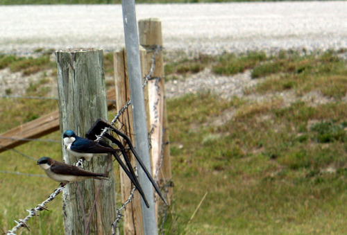 Angry Swallows - Crowsnest Pass on Flickr.