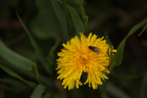 Fly on a Dandelion - Twin Butte, Alberta on Flickr.
