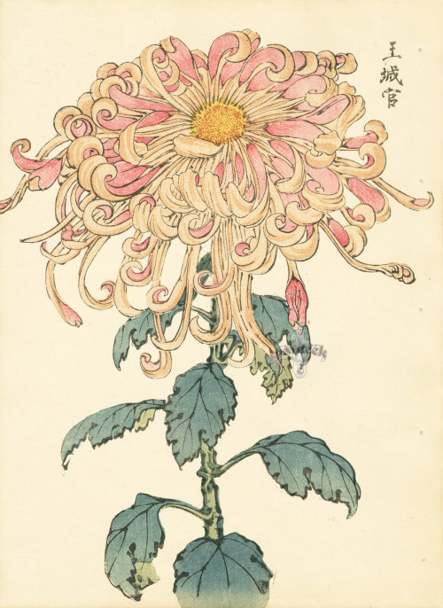 "Keika Hasegawa  Chrysanthemum Wood Block Prints 1893   In Japan, the chrysanthemum, or kiku, is not just a beautiful flower, but the symbol of the sun, perfection, long life, power and nobility. It is the official flower of Japan and the seal of the Imperial family of Japan, as well as the insignia on every Japanese passport. The Emperor, representative of the oldest continuing hereditary monarchy in the world, rules from the Chrysanthemum Throne, symbol of the state and the unity of the people. Artist Keika Hasegawa translated the graceful beauty of the flowers to the page in One Hundred Chrysanthemums, printed in 1893. Each delicately-colored woodblock print features a perfect bloom balanced atop a long single-stemmed plant. In life, cultivated through the art of ogiku (""single stem""), these plants can reach six feet tall with enormous blossoms the size of softballs."