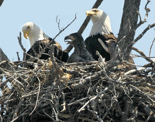 A pair of bald eagles with an eaglet sit in their nest on the East Shuswap Road across from Valleyview. The parents take turns hunting for fish along the Thompson River. — Keith Anderson