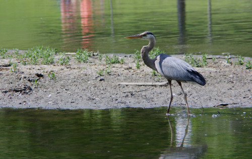 Blue heron hunting for fish.