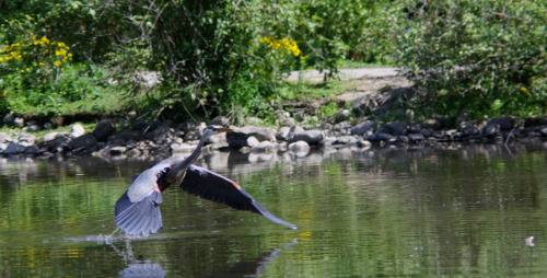 Blue heron taking flight.