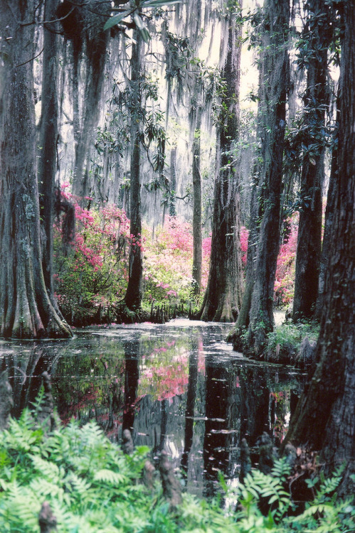 landscapelifescape:  Charleston, South Carolina, USA Cypress Gardens 1978 (by snow41)