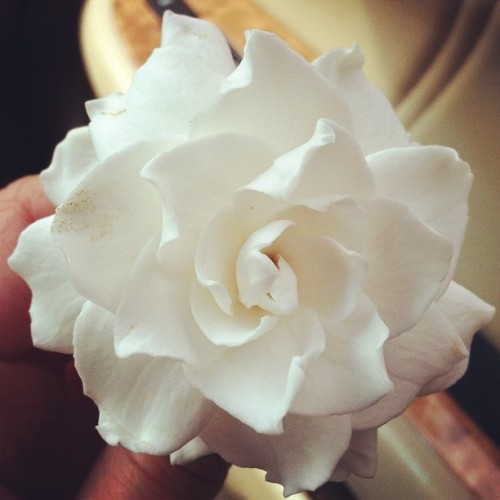 A gardenia from my mom's garden (Taken with Instagram)