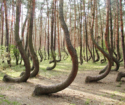 melmarsek:  The Crooked Forest is located right outside of Nowe Czarnowo, West Pomerania, Poland. The grove contains approximately 400 pine trees with bent trunks. They were planted sometime in 1939, but why or who made them crooked is unknown.