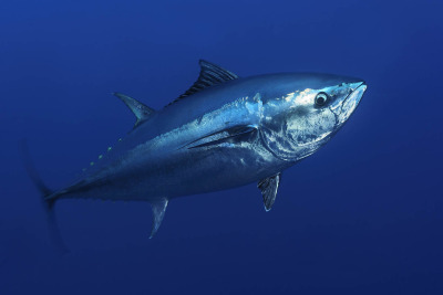 VEGAN DAILY FRIEND:  Bluefin Tuna The southern bluefin tuna is found in open southern hemisphere waters of all the world's oceans, and can reach over 8 feet long and weigh well over 800 pounds.  Reaching speeds that rival those of cars on a freeway, bluefin tuna can cross the Atlantic in fewer than 60 days. The onset of industrial fishing in the 1950s, in conjunction with ever improving technologies such as GPS, fishfinders, satellite imagery, etc., and the knowledge of migration routes, has led to the exploitation of southern bluefin tuna across its entire range.  The southern bluefin tuna is now classified as Critically Endangered. Last year, the Obama administration declined to grant Endangered Species Act protections to the Atlantic bluefin tuna, creating some controversy and dismay from several environmental groups. PRINCIPAL THREAT:  Overfishing has driven bluefin tuna close to extinction, and they may soon completely disappear from the ocean.  Humans have such a taste for sushi that in 2011, one fish fetched $396,000 at a Japanese fish market.  Meanwhile, shifty politics has kept fishing quotas far above sustainable levels recommended by scientists.