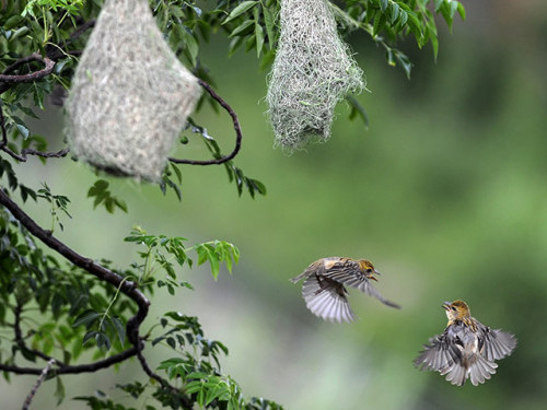 theanimalblog:  A pair of weaver birds flutter near their nests in Kathmandu, Nepal. Weavers are related to finches, and are one of the 868 species of bird found in Nepal. The country's diverse topography and climate is home to more than 10% of the world's bird species.  Photograph: Prakash Mathema/AFP/Getty Images