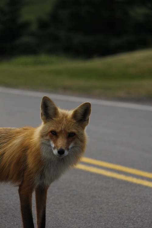 Fox in PEI (by begineerphotos)