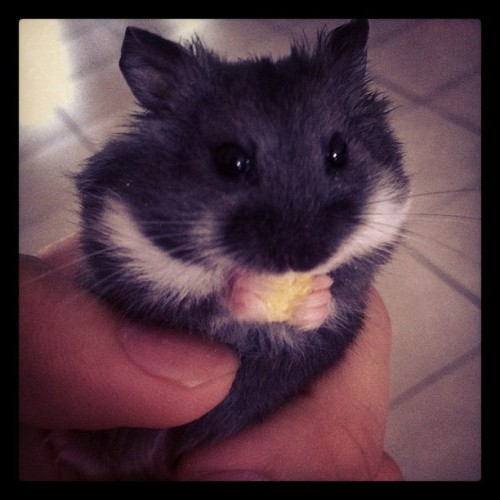 Ah Black ! =D #cute #hamster  (Taken with Instagram)