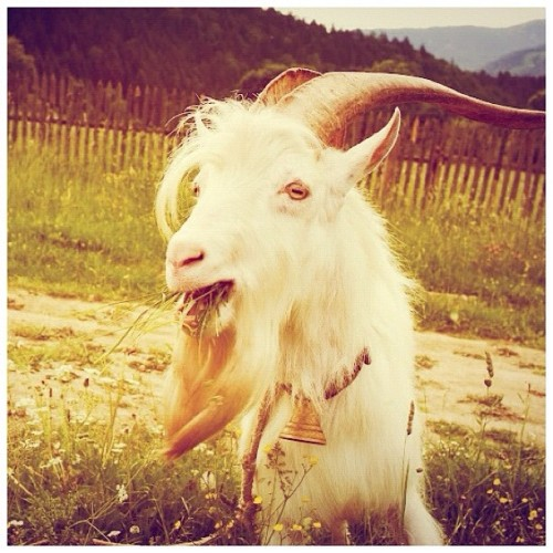 Goat in farm #agriculture #animal #cheese #countryside #cute #farm #farming #field #slovakianfood #fur #goat #mammal #meat #milk #nature #pasture #slovakia #liptov  #iphonesia #instagram #statigram #traditionalfood #instabest #photowall #photo_cafe #instacool #instawaw #instacanvas #instafood (Taken with Instagram)