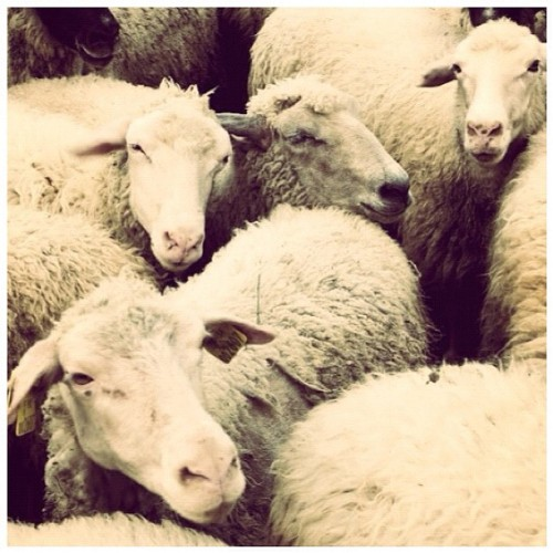 White sheep #sheep #agriculture #animal #cheese #countryside #cute #farm #farming #field #slovakianfood #fur #goat #mammal #meat #milk #nature #pasture #slovakia #liptov  #iphonesia #instagram #statigram #traditionalfood #instabest #photowall #photo_cafe #instacool #instawaw #instacanvas #instafood (Taken with Instagram)