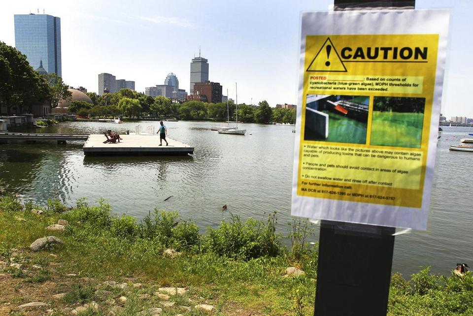 Potentially toxic algae bloom starts early in Charles River  Blue-green algae blooming on portions of the lower Charles River has the potential to release toxins harmful to people and dogs. (JOHN TLUMACKI/GLOBE STAFF)
