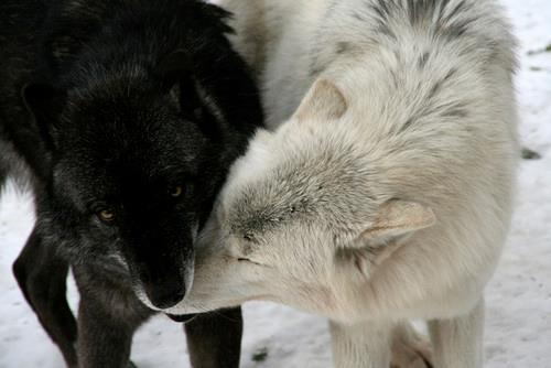 funnywildlife:  Wolf Love!! source:http://favim.com/