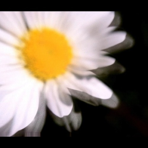 """Daised""  Photo: 6/23/12. Karen Glosser. #dazed #daisy #flowers #photography #summer #June #gardens #home #blooms #petals #white #yellow #nature #beauty  (Taken with Instagram)"