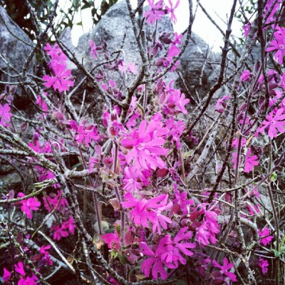 Pink flowers #flower #flowers #pink #plant #plantd #wildlife #nature #lovely #rock #brickwall #instagram #instagood  (Taken with Instagram)