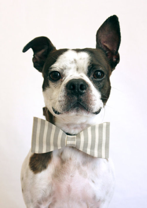 Grey and White Striped Dog Bowtie