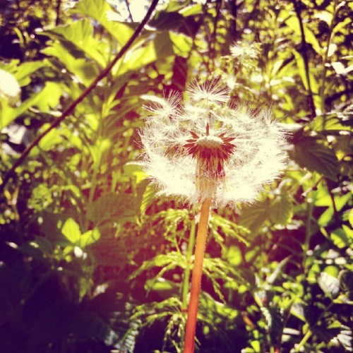Another dandelion from last week. #Dandelion #Flower #Bergen #Norway #Summer #Nature   (Taken with Instagram at Bergen)