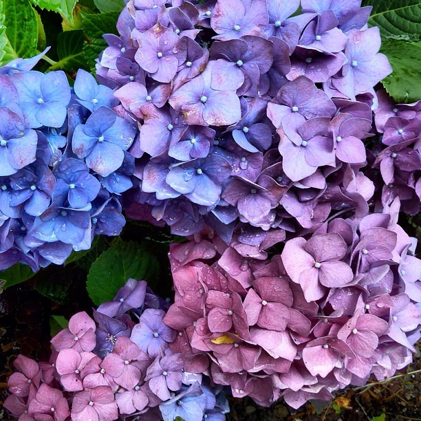 plantingart:  Gorgeous Hydrangeas, New York Botanical Garden, the Bronx, NY #nybg (Taken with Instagram)  The latest headliners in the outdoor collections have to be the hydrangeas. Their cool colors stand out in the heat of the day, but really pop under overcast skies. Loving this horticulturist's feed of gardens and architecture, both local and abroad. —MN