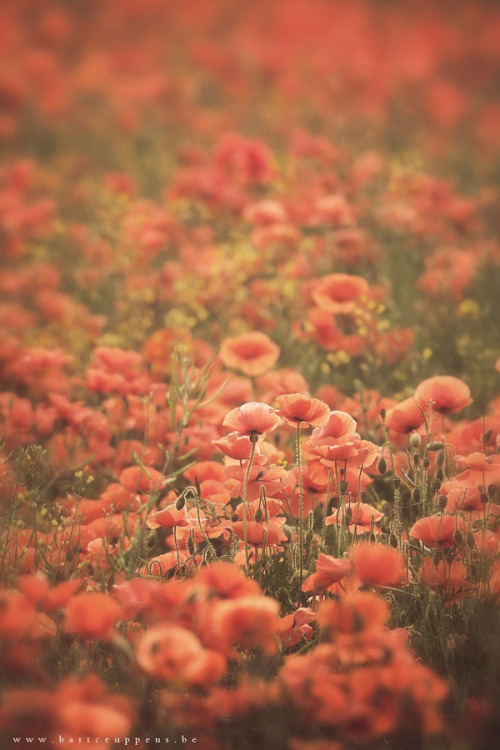 slowlydrifting:   Poppies poppies everywhere  Bart Ceuppens