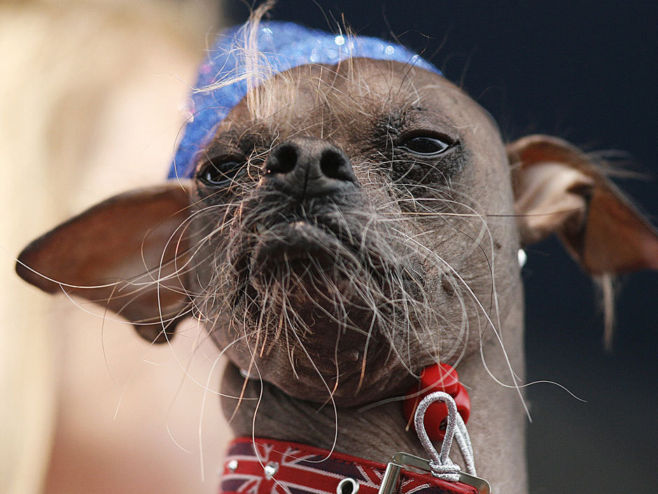Photos: World's ugliest dog contest won by U.K.'s beady-eyed Mugly Competing for fame, $1,000 and a year's worth of dog cookies, Mugly won the honour by beating out 28 other ugly dogs from around the world