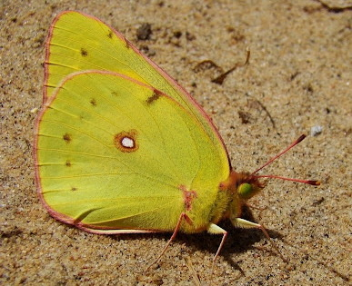 Colias interior // Pink Edged Sulphur Butterfly