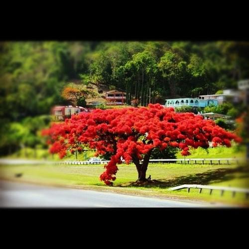 #flamboyan #instagram #isladelencanto #cayey #puertorico (Taken with Instagram)