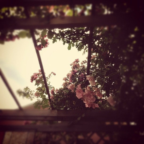 Roses (Taken with Instagram at Milton)