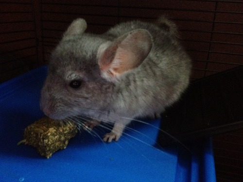New chinchilla, Ellie. c: