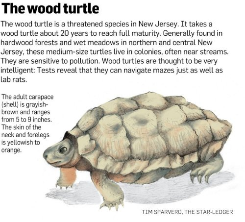 dendroica:   This time of year is the most dangerous time for the turtles — a threatened species in New Jersey — as they slowly emerge from murky rivers and streams after their months-long hibernation and become more active in search of food and mates…. While raids on nests by foxes and raccoons take a heavy toll on young wood turtles, road kills and the illegal collection of turtles by people who take them from their natural habitat for use as pets are the largest threats for the adults, said a state biologist.  (via Father-daughter duo tries to save the world, starting with local turtles | NJ.com)
