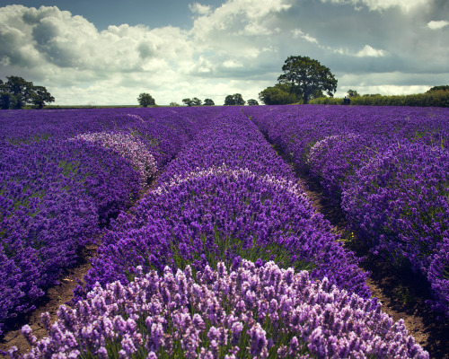 llbwwb:  Somerset Lavender (by peterspencer49)