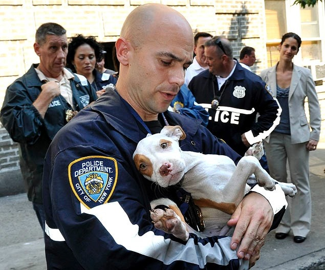 dogjournal:  SAVED. Police recently broke up a dog-fighting ring in the Bronx, New York, and rescued 47 pit bulls, many of them still puppies.  The dogs were confined in terrible conditions in a basement, and range in age from 12 weeks to five years. The ASPCA is currently evaluating and caring for the dogs. Hopefully, the dogs will be deemed fit for adoption so they have a chance at leading happy lives.  Click here for the full story from the New York ASPCA website and also more at nydailynews.com.   Thank you for saving these dogs…  :-)