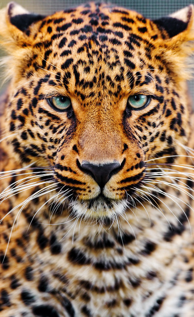 harvest-moons-and-halos:  Leopard