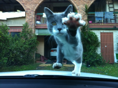 get off my car cat! no you may not drive. your paws wont even reach the pedals.