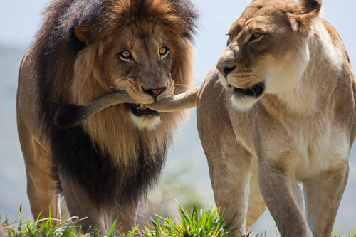 Izu and Lioness by atthebeach1957 on Flickr.Catching her by the tail!