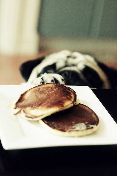 fortheloveofpug:  Must. Get. Pancakes.