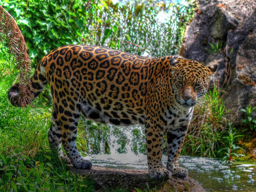 worldlyanimals:  Posing Jaguar (Steve J O'Brien)