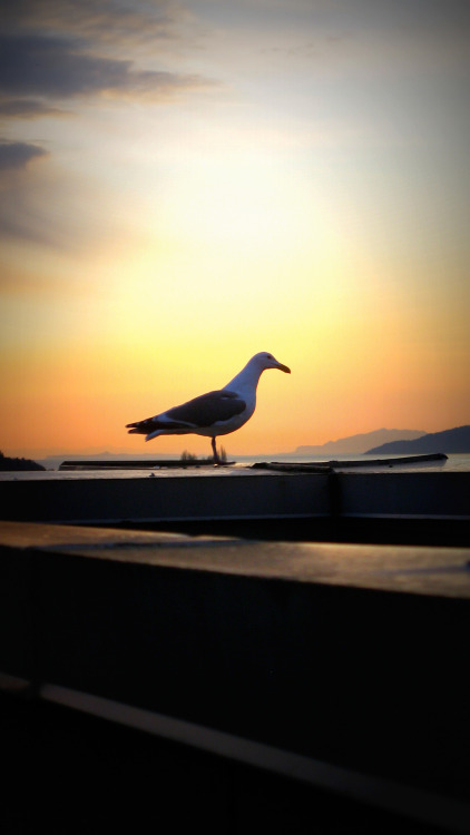 Snapped this Pacific Gull ten storeys up, on the roof of a condo building the other day. Seagulls are one of Vancouver's signature urban critters. Squawk!
