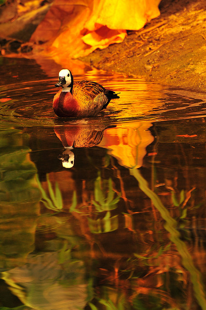 worldlyanimals:  Duck Reflection (Juan Rubiano)  so beautiful