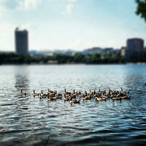 six million geese a-swimming (Taken with Instagram)