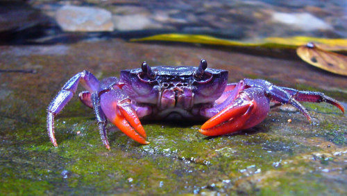 lightning-firelies:  Bright Purple Crab Discovered in Philippines One of the newly discovered crab species, Insulamon palawanense, which is bright purple in color. CREDIT: © Senckenberg Four new species of crab that sport some wild colors have been discovered near the Philippine island of Palawan. The newfound species are threatened by mining activities in the region, which is one of the world's major biodiversity hotspots, its discoverers said. About half of the species that live on Palawan are endemic, meaning they are found nowhere else. Scientists at the Senckenberg Research Institute in Germany and De La Salle University in Manila found the four new species of Insulamon freshwater crab genus as part of their Aqua Palawana research program.