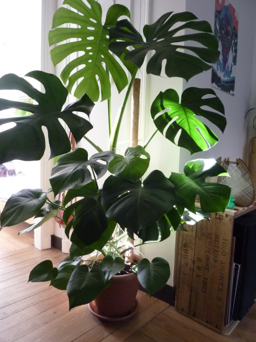 batesnursery:  Monstera deliciosa, you will always have my heart.
