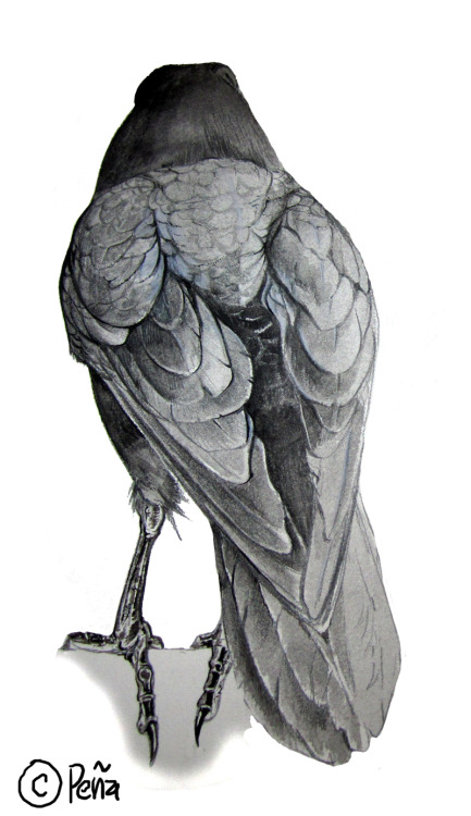 deviantbirds:   raven from the back by *Reptangle