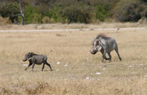 A horny Warthog chases after one of his offspring - squealing and grunting like a pig.Big Birds and a Bigger Cat