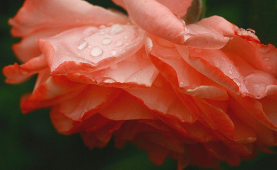 lots of rain on the roses by daveeza on Flickr.
