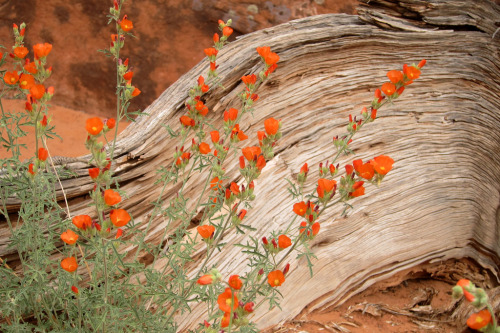 irecallthepushmorethanthefall:  Globe Mallow and dead tree (by num1weaver)